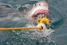 Shark attack. White shark attack (Carcharodon carcharias stock photos