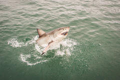 Shark attack. Attack great white shark, South Africa Royalty Free Stock Photo