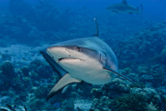 Shark attack underwater. In the deep blue sea stock photos