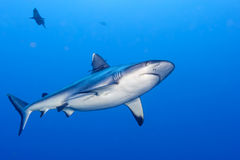 Shark attack underwater. In the deep blue sea royalty free stock photography