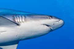 Shark attack underwater Royalty Free Stock Images