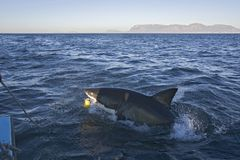 The shark that attacked us from the boat in Cape Town royalty free stock images