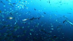 Shark on background of school fish underwater in Pacific ocean.