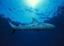 Shark, Banns fish-shaped shark. Banns fish-shaped shark, school of fish Stock Image