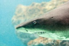 A shark with a bared teeth. In close-up view royalty free stock images