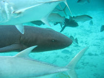 Shark in belize central america Stock Images