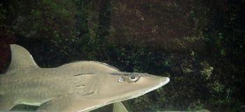 Shark. It is a big shark royalty free stock photo