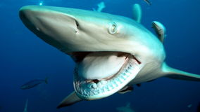Shark big jaws. Big open mouth of shark and it's teeth Stock Photo