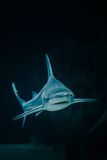 A shark. A blue shark that' s swimming under water Royalty Free Stock Photo