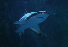 Shark at the blue water close up turning to left Royalty Free Stock Photos