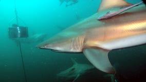 Shark brave rider Royalty Free Stock Image
