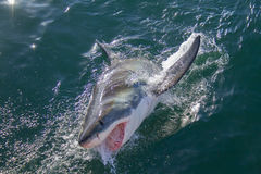 Shark breaching the ocean Stock Photography