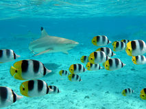 Shark and butterfly fish royalty free stock photography