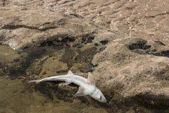Shark carcass Stock Images