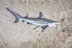 Dead Shark On The Ground. A shark caught by a fisherman, is left for dead on the ground stock photo