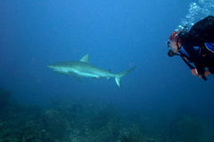Shark chase. Picture of a diver who run after a shark during a dive.  Picture took in Honduras, Roatan Stock Images