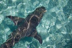 Shark in clear water of the reef, Heron Island Australia Stock Photos