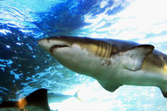 Shark. Close up of a shark, looking for food Royalty Free Stock Photography