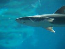 Shark Closeup. Small shark swimming undersea in a fishtank Royalty Free Stock Photo
