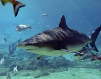 Shark&Cobia. Shark with Cobia swimming under Stock Photography