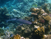 Shark and coral reef. Whitetip reef shark and coral reef in Red sea Stock Photos