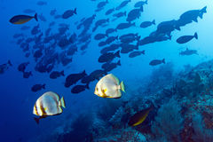 Shark Coral rocks and fishes wall underwater landscape panorama Royalty Free Stock Image