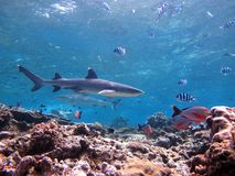 Shark cruising over coral reef Royalty Free Stock Image