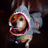 Shark Dachshund Stock Images