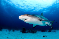 Shark on a Dark Reef Stock Photography