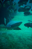 Shark. Stock Photos