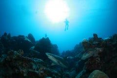 Shark Dive Stock Photo