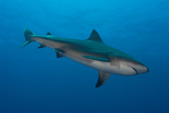 Shark dive. The view of a bull shark swimming along, Pinnacles, Mozambique Stock Image