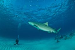 Shark diving Stock Photography
