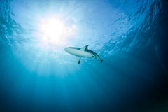 Shark diving Stock Photo