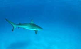 Shark diving Royalty Free Stock Images