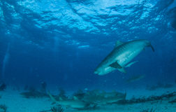 Shark diving Royalty Free Stock Photo