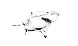 Shark drawn in ink. A shark drawn in ink on a white background Royalty Free Stock Images