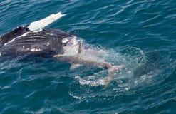 Shark eating whale. Carcass Hervey Bay royalty free stock photo