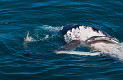 Shark eating whale. Carcass Hervey Bay royalty free stock images