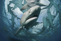 Shark encounter Royalty Free Stock Photo