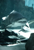 Shark family Royalty Free Stock Photo