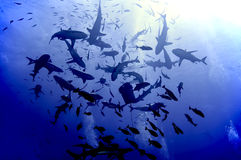 Shark feeding frenzy. Black and white tip reef sharks. Coral Sea Stock Photo