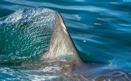 Free Shark Fin Stock Photo - 77566650