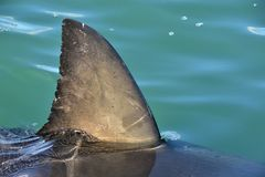 Shark fin above water. Close up.  Back Fin of great white shark, Carcharodon carcharias, False Bay, South Africa, Atlantic Ocean. Close up of Back Fin of great Royalty Free Stock Images
