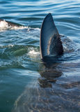 Shark fin above water. closeup Fin of a Great White Shark (Carcharodon carcharias) in ocean water. South Africa royalty free stock photos