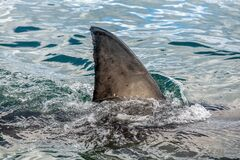 Free Shark Fin Above Water. Closeup Fin Of A Great White Shark Royalty Free Stock Photography - 168950587