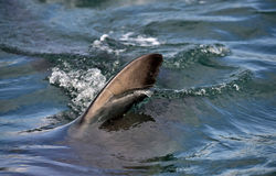Shark fin above water. Royalty Free Stock Photography