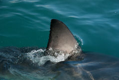 Shark fin. A great white sharks fin cuts through the waters surface, South Africa stock photo