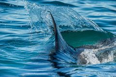 Shark fin in the water. Royalty Free Stock Images
