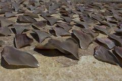 Shark Fins. Drying - environmental problem,overfishing endangers sharks Stock Photography